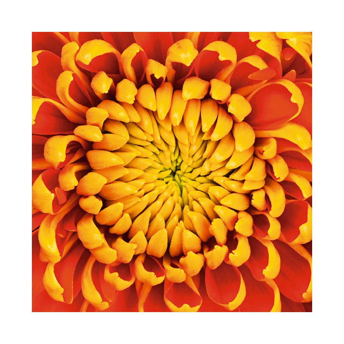 glasbild yellow dahlia flower isolated gr e 50 x 50 cm artland bestellen. Black Bedroom Furniture Sets. Home Design Ideas