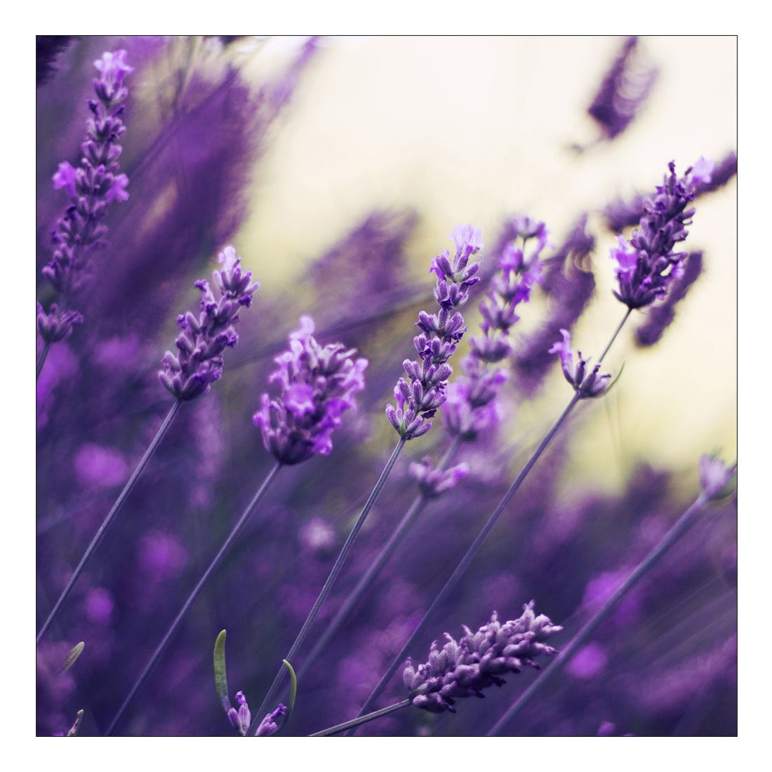 Leinwandbild PURPLE LAVENDEL – Abmessung 100 x 50 cm, Gallery of Innovative Art online bestellen