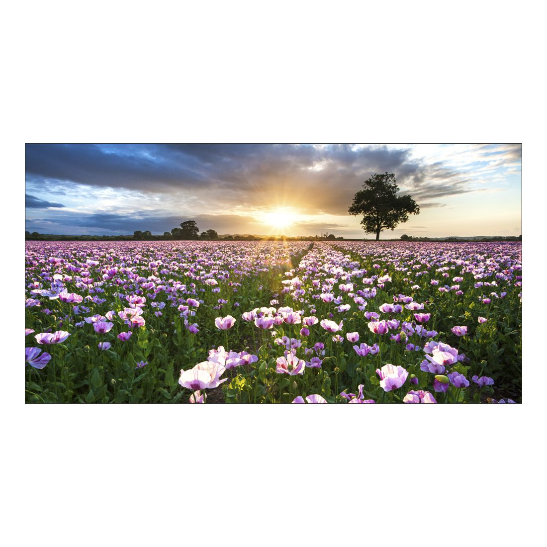Leinwandbild SUNSET OVER FLOWERBED – Abmessung 100 x 75 cm, Gallery of Innovative Art günstig online kaufen