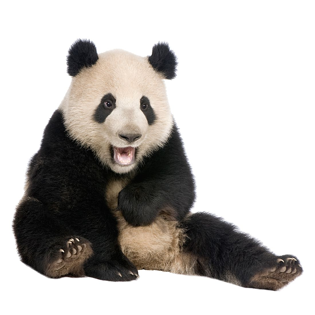 Wandtattoo Lachender Panda, Mantiburi günstig