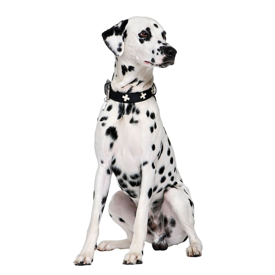 dalmatian fire dog pictures to pin on pinterest tattooskid. Black Bedroom Furniture Sets. Home Design Ideas